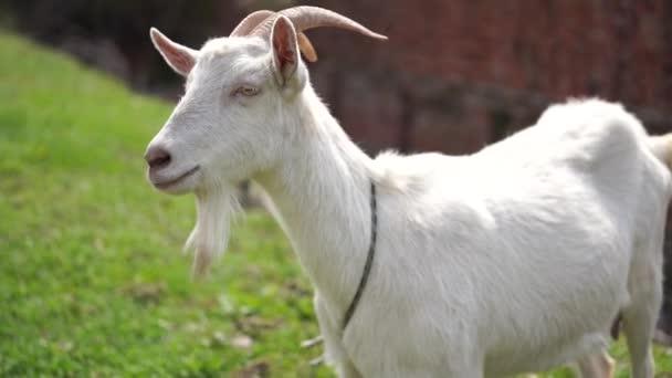 Na venkově se pasou kozy. Na trávníku se pasou přivázané kozy. Bílá koza se pásla na louce.