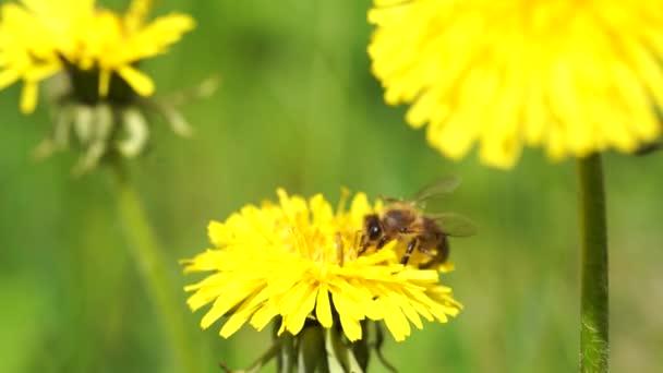 Žluté pampelišky s včelkou. Med sbírá nektar z pampelišky. Zavřít květiny žluté pampelišky.Jasné pampeliška květiny na pozadí zelených jarních luk