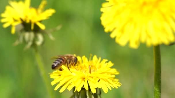 Sárga pitypangok egy méhecskével. Méhecske nektárt gyűjt pitypang virágból. Közelkép virágok sárga pitypangok.Fényes pitypang virágok a háttérben a zöld tavaszi rétek