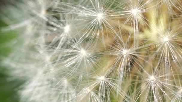 Közelről fehér pitypang. Virágzó gömb makróban, elmosódott zöld háttérrel. A természeti háttér fogalma