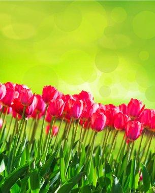 Fresh magenta tulips