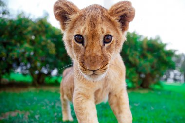 Lion cub staring at the eyes in green sunny savanna
