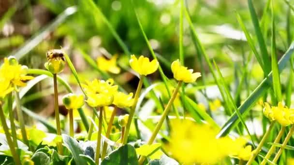 Létající včelka dělnice shromažďuje nektar z oblasti žluté květy.