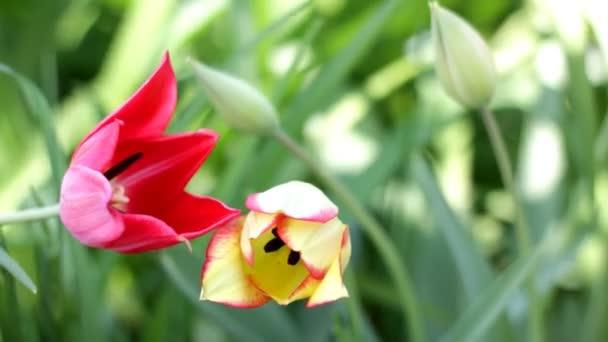 žlutý a červený Tulipán