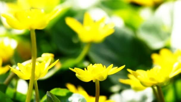 Repülő dolgozó méh nektárt gyűjt a mező sárga virágok.