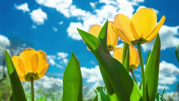 sárga és piros tulipán