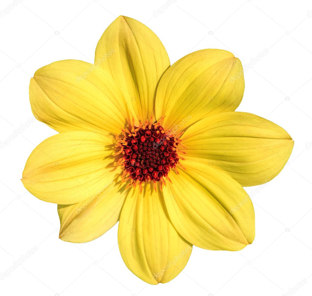 Yellow Dahlia Flower Isolated On White Stock Photo Photogearch