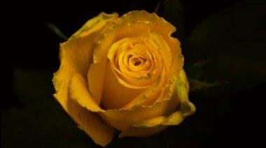 Közzététel a virág nőtt. Gyorsított felvétel. Gyorsan megnyithatjuk a rosebud. Idő telik el