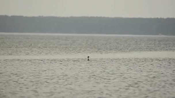 Roháč pták. Pták plave na rybníku. Podicipediformes. Pták plave na rybník, lov ryb. 46