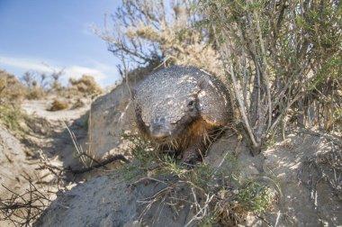 Armadillo animal in nature, Patagonia , Argentina stock vector