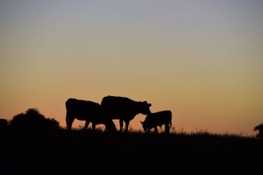 Cows grazing at sunset, Buenos Aires Province, Argentina.