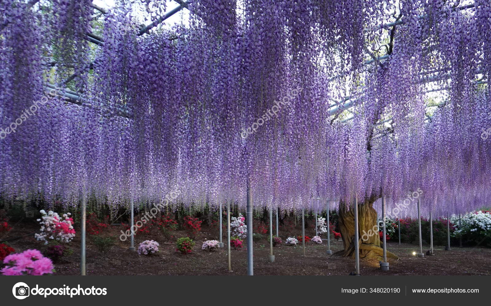Hanging Bunches Purple Wisteria Tree Spring Time Japan Stock Photo C Tanya Tawa Hotmail Com 348020190