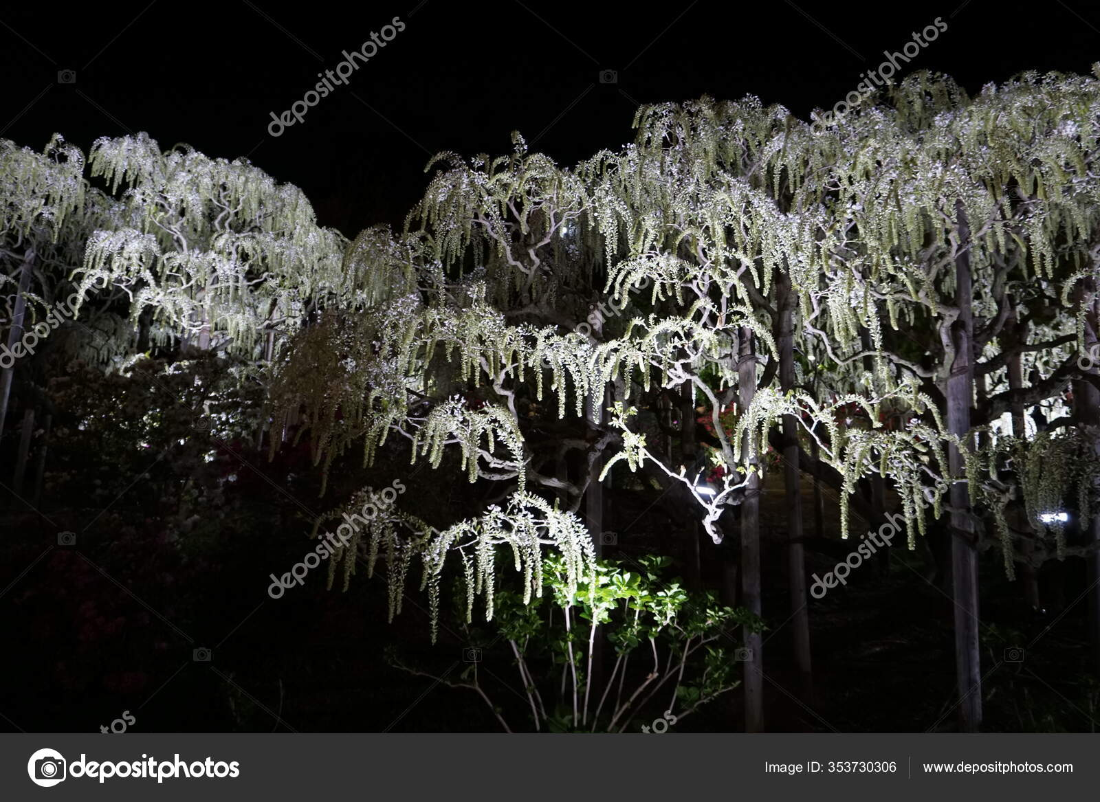 Pendurado Cachos Branco Wisteria Arvore Iluminacao Noite Hora Primavera Japao Stock Photo C Tanya Tawa Hotmail Com 353730306