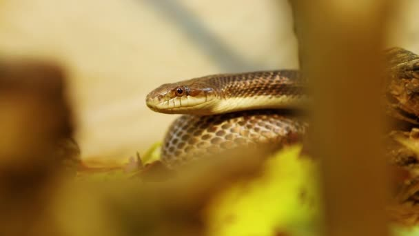 Coiled pet rat snake slithers in terrarium