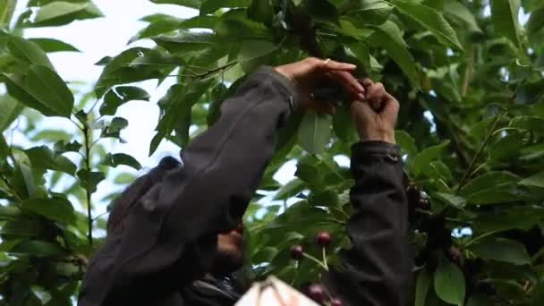 Professional agricultural worker picking cherries