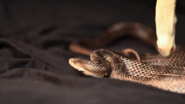 patkány kígyó táplálkozás egy nagy fehér egér