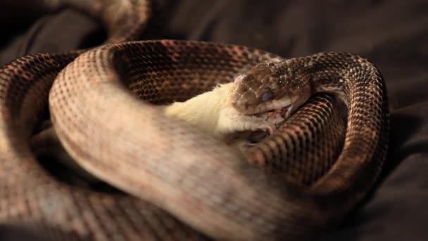 patkánykígyó megpróbál patkányt nyelni