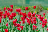 Fényes klub piros tulipán szimbóluma a tavasz és olvadás