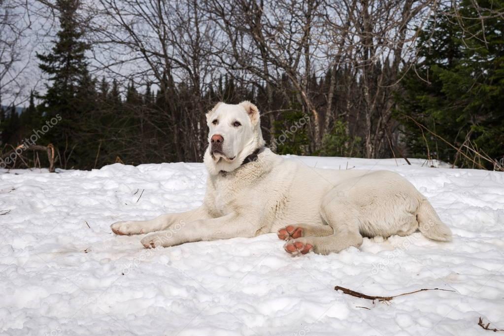 Alabai puppy lies on the snow. (Female, 7 months)