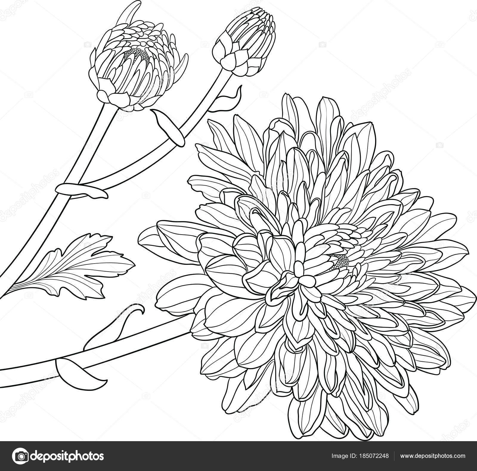 Crisantemos vector dibujado a mano — Archivo Imágenes Vectoriales ...