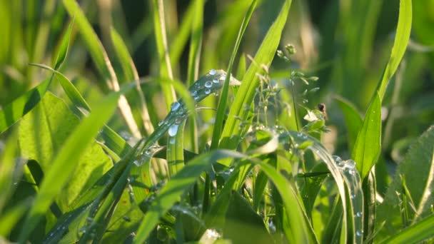 Růžové kapky na bujnou vegetaci za úsvitu.Brzké ráno se na listech nahromadily jasné kapky vody.Nádherné pozadí rostlin na jaře.