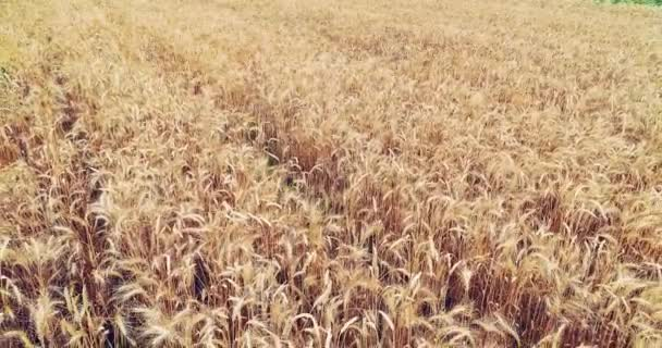 Golden ears of wheat on the field swinging with wind beamed with sun.