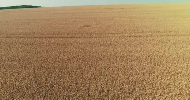 Cereal plantation concept. Drone flying over beautiful yellow carpet of ripe wheat.