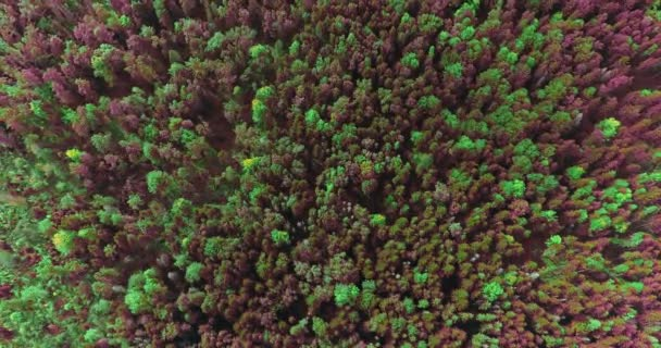4K aerial view over colorful forest of dense mixed tree tops of pine and deciduous trees.