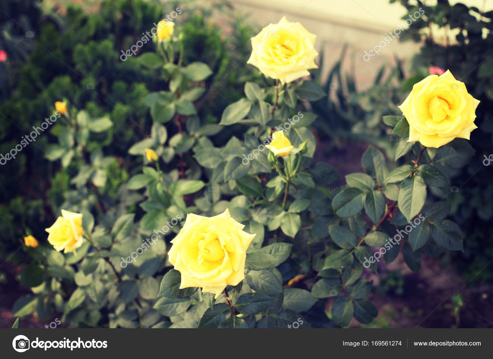 Beautiful Yellow Rose Flowers Stock Photo Perminoffa 169561274