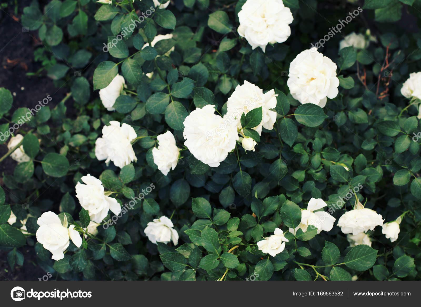bush with beautiful white rose flowers — Stock Photo © perminoffa ...