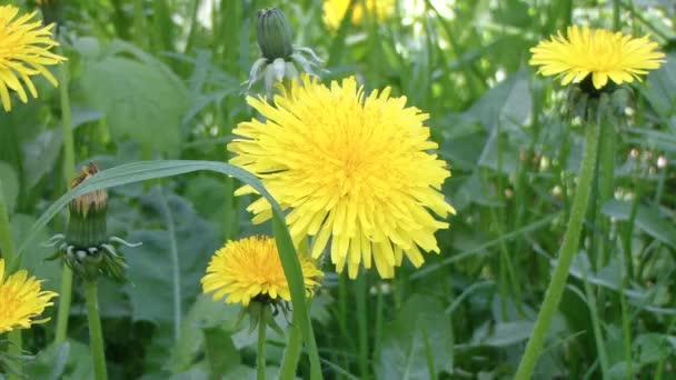 Detail květů rozkvetlých žlutých pampelišek. Taraxacum officinale.