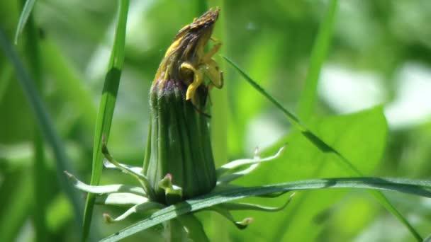 Pampeliška v oblasti zelené trávy. Pampeliška na louce.