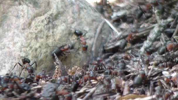 Big carpenter ants, ant workers in colony
