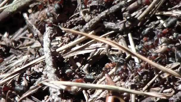 Velké mraveniště s kolonie mravenců v lese na jaře