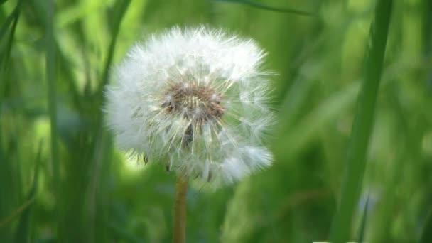 Pampeliška květ zblízka na přírodní pozadí