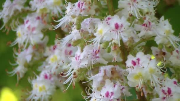 Kaštanu. Kvetoucí kaštany. Kýval větvemi květenství kaštany v pomalém pohybu