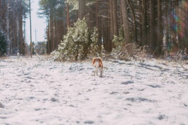 A cute white and brown king charles spaniel, standing in a snow covered woodland setting.