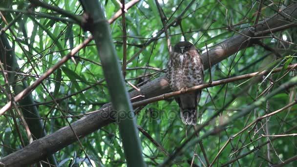 Hnědé scutulata Hawk sova hnědá Boobook Ninox Roztomilé ptáky Thajsko