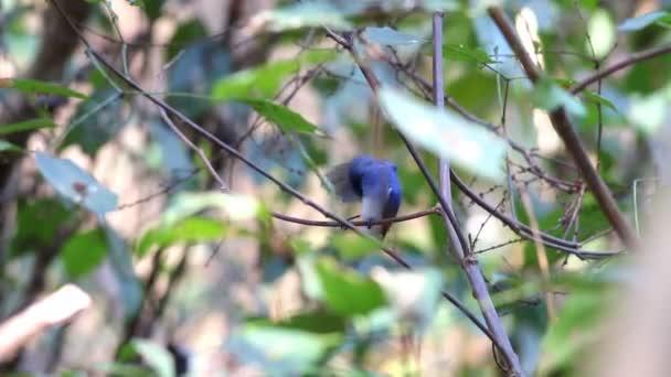 Feketefejű uralkodó Hypothymis azurea férfi aranyos madarak, Thaiföld