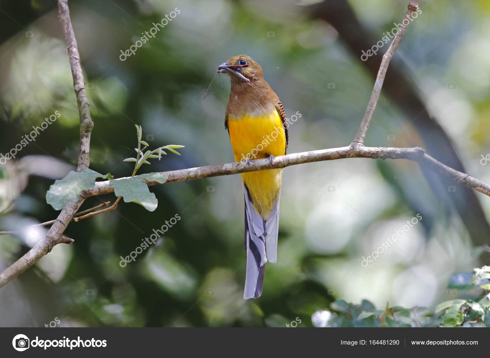 Orange-breasted Trogon Harpactes Oreskios weibliche Vögel essen ...