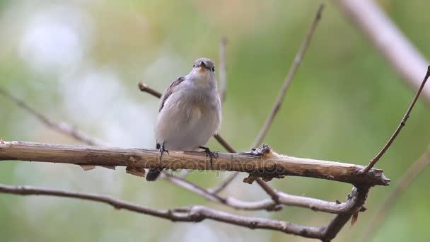 Tajga Flycatcher Ficedula albicilla Roztomilé ptáky Thajsko