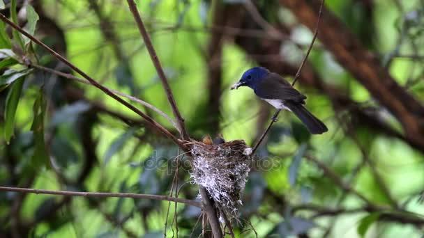 Feketefejű uralkodó Hypothymis azurea női etetés baba madarak a fészekben