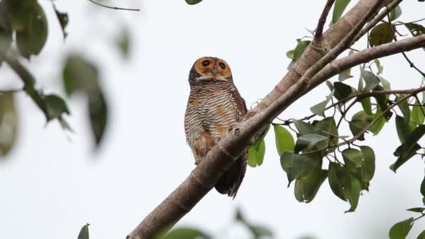 Avvistato il gufo di legno Strix seloputo uccelli bella della Thailandia