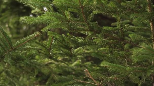 Coniferous spruce forest and branches with green needles close-up. Movement in the wind. Natural background