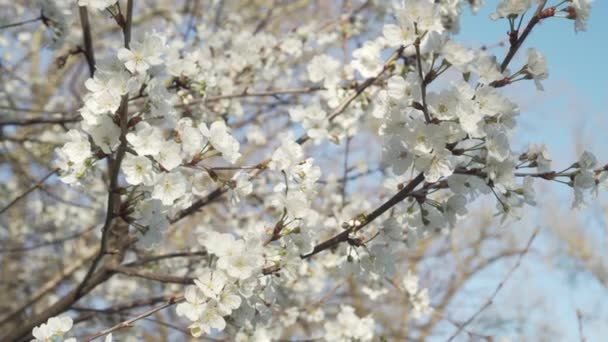 Beautiful white flowers on a branch of a blossoming apple tree on a background of blue clear bright sky. Slow motion in the wind