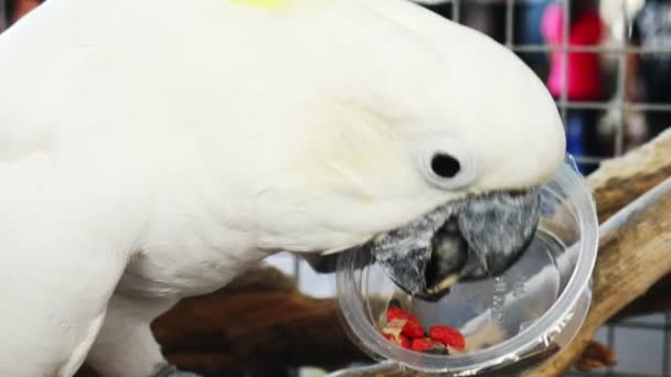 Bílý papoušek pojídající slunečnicové semínko z plastového kelímku.
