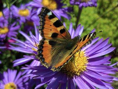 The small tortoiseshell butterfly (Aglais urticae), Der Kleine Fuchs Schmetterling or Koprivina ridja ili Leptir Mali koprivar stock vector