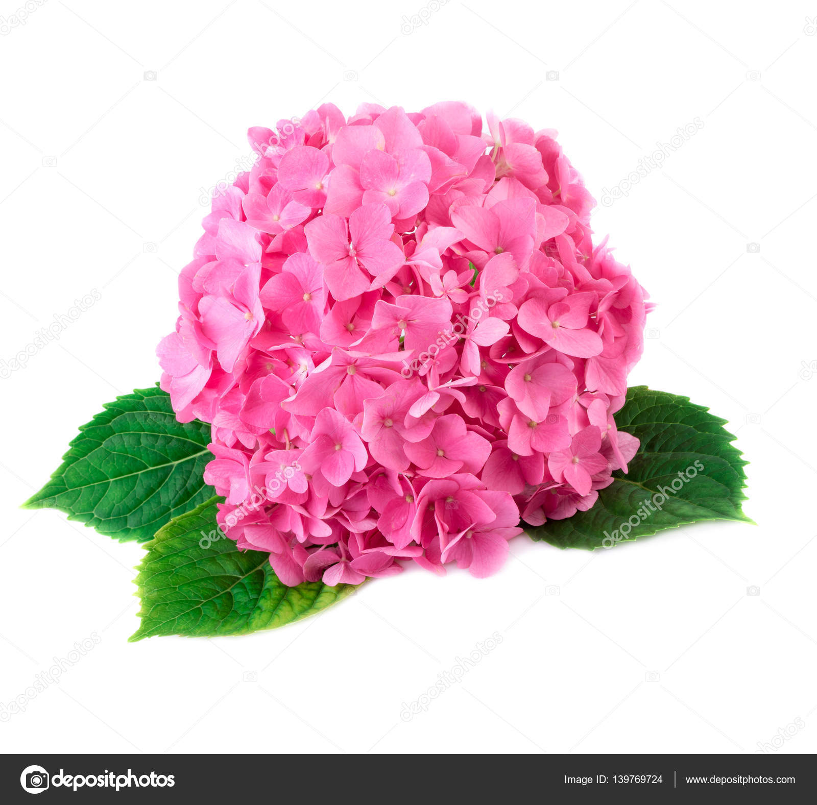 Hortensia Flower Close Up Pink Hydrangea Flowers Isolated On White