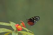 heliconius hecale Schmetterling, Tiger Langflügelschmetterling (heliconius hectare)