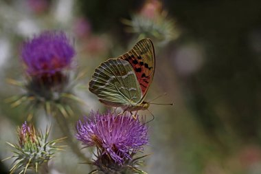 spring butterfly on the plant; Argynnis pandora